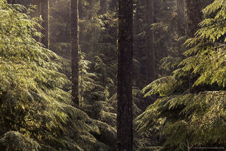 oregon, silver falls state park, trees, forest