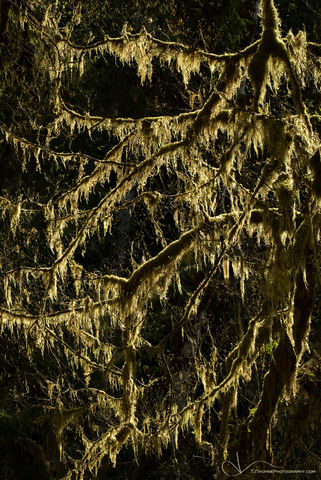 moss, olympic national park, washington, branch