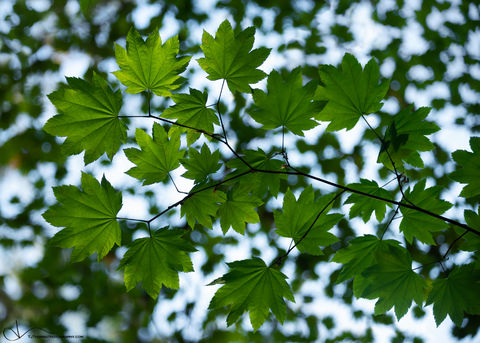leaves, olympic national park, washington