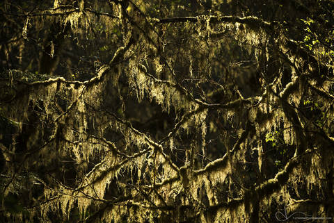 olympic national park, washington, backlight, moss, forest, branches, tree
