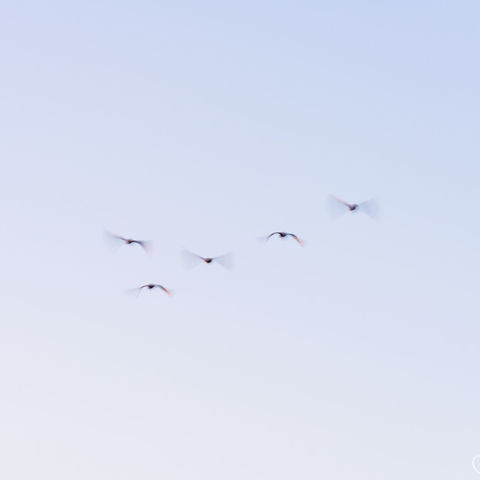 birds, oregon, sky, flock
