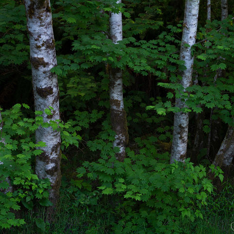 washington, olympic national park, trees, alder