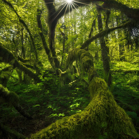 forest, tree, moss, spring, sunlight, oregon, columbia river gorge