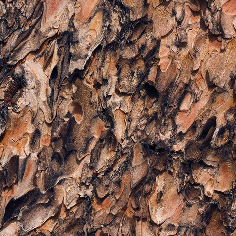 abstract, texture, tree, bark, ponderosa, oregon
