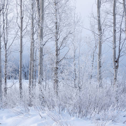 frost, aspen, trees, winter, grand teton national park, wyoming, snow