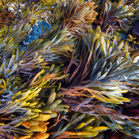 rockweed, oregon, coastal, plant, seaweed, swirl
