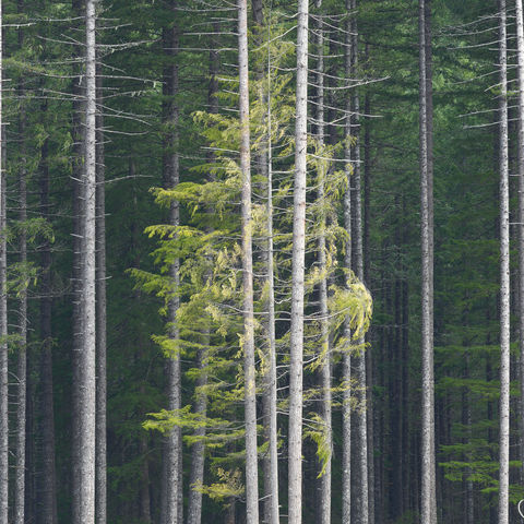 tree, symmetry, forest, gifford pinchot, washington