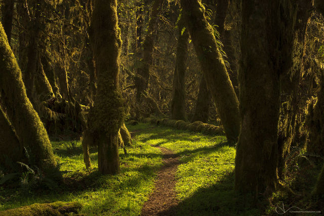 forest, path, olympic national park, washington