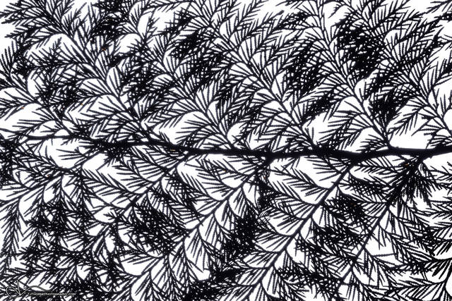 branch, cedar, silhouette, cedar