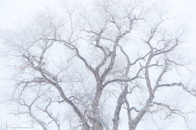 cottonwood, tree, utah, winter, snow