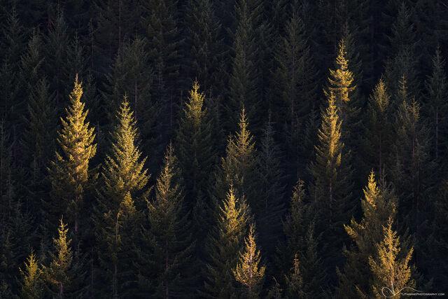 trees, mt. hood, oregon, forest, light