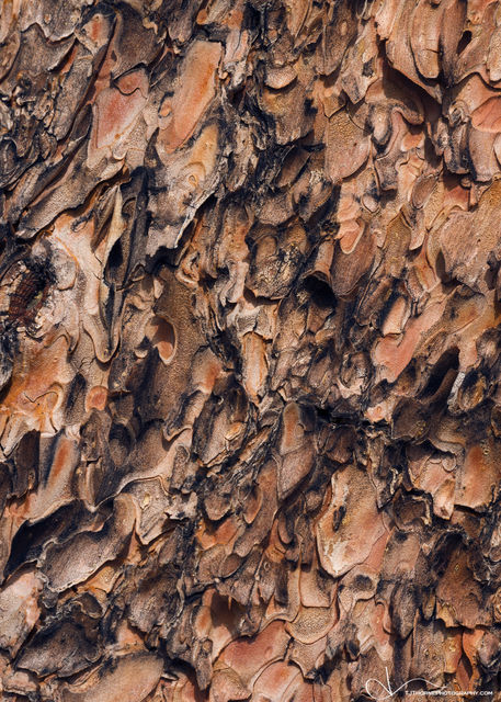 abstract, texture, tree, bark, ponderosa, oregon