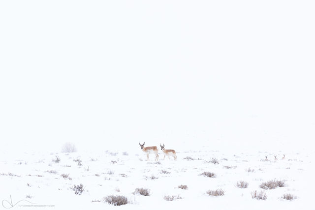 pronghorn, utah, winter, snow, storm