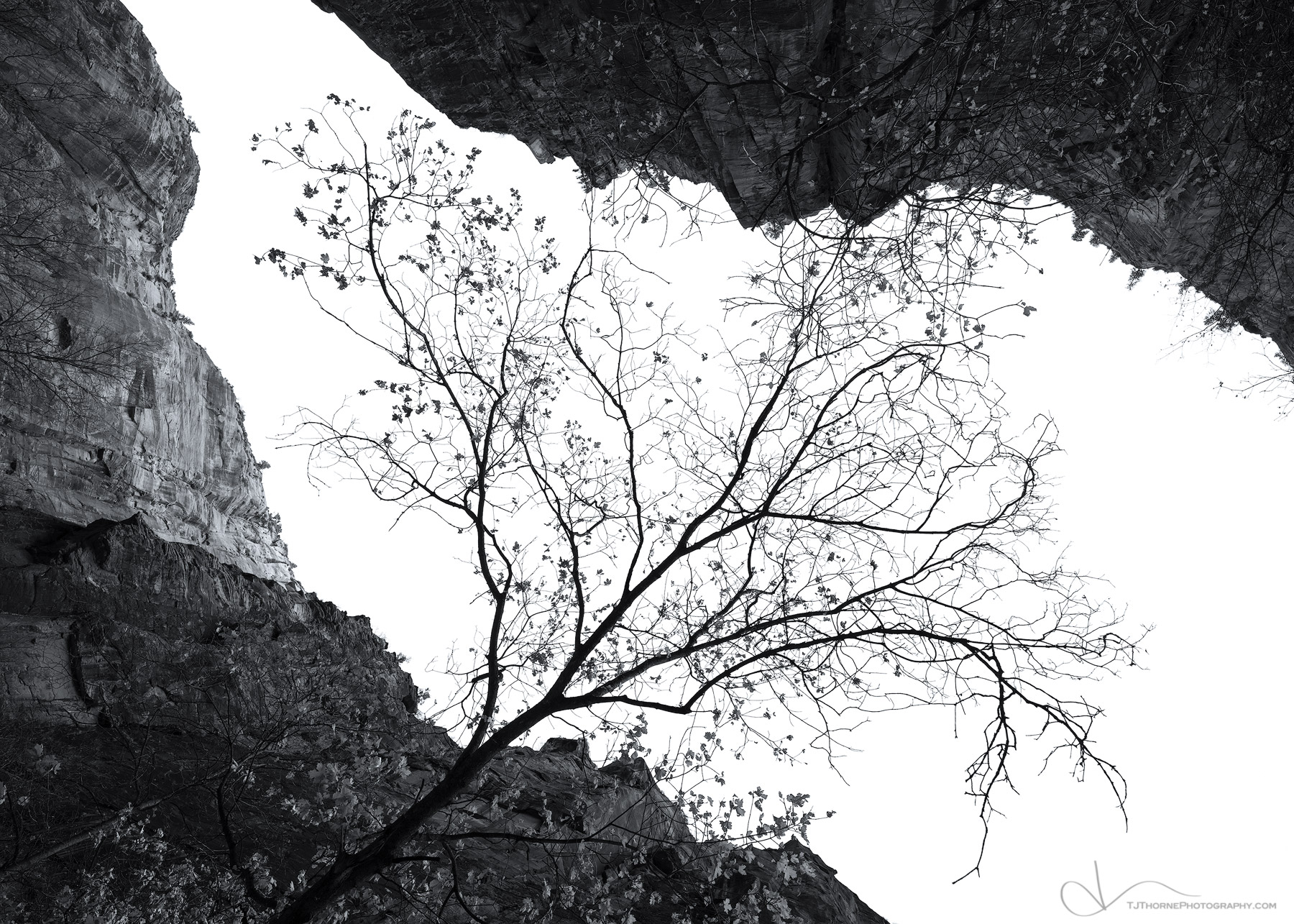 FINE ART LIMITED EDITION OF 100 The last leaves of the season hold onto a tree in Zion National Park well into the winter season...