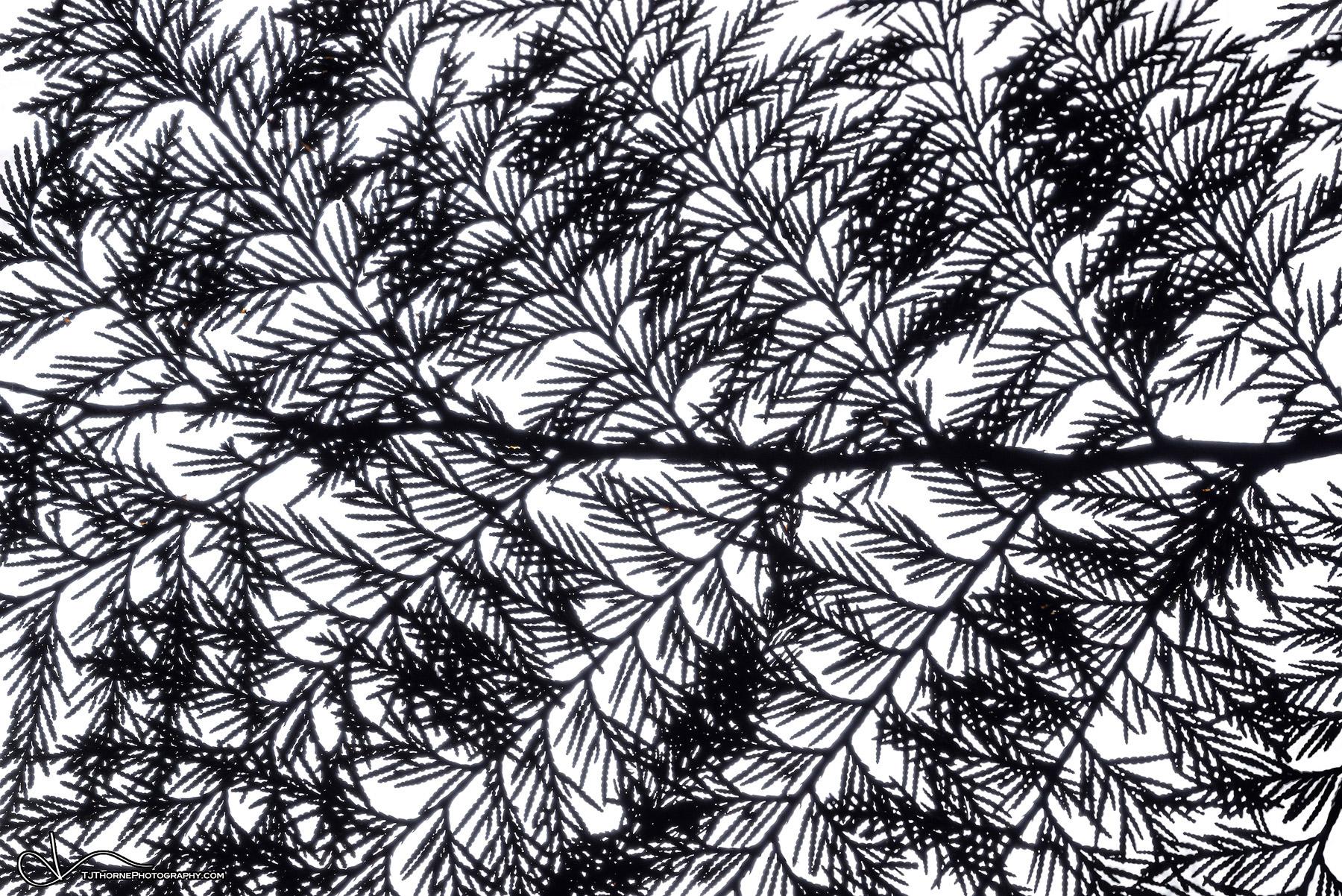 branch, cedar, silhouette, cedar, photo