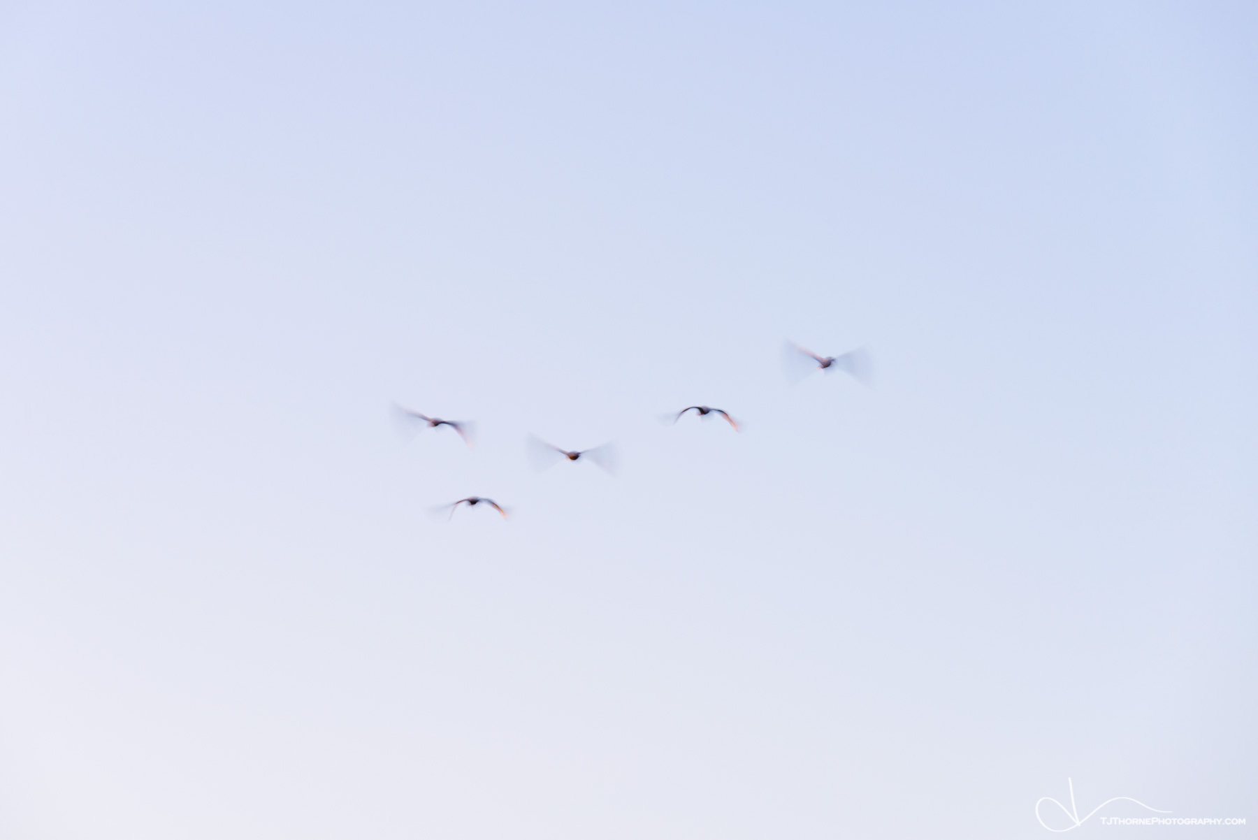 birds, oregon, sky, flock, photo