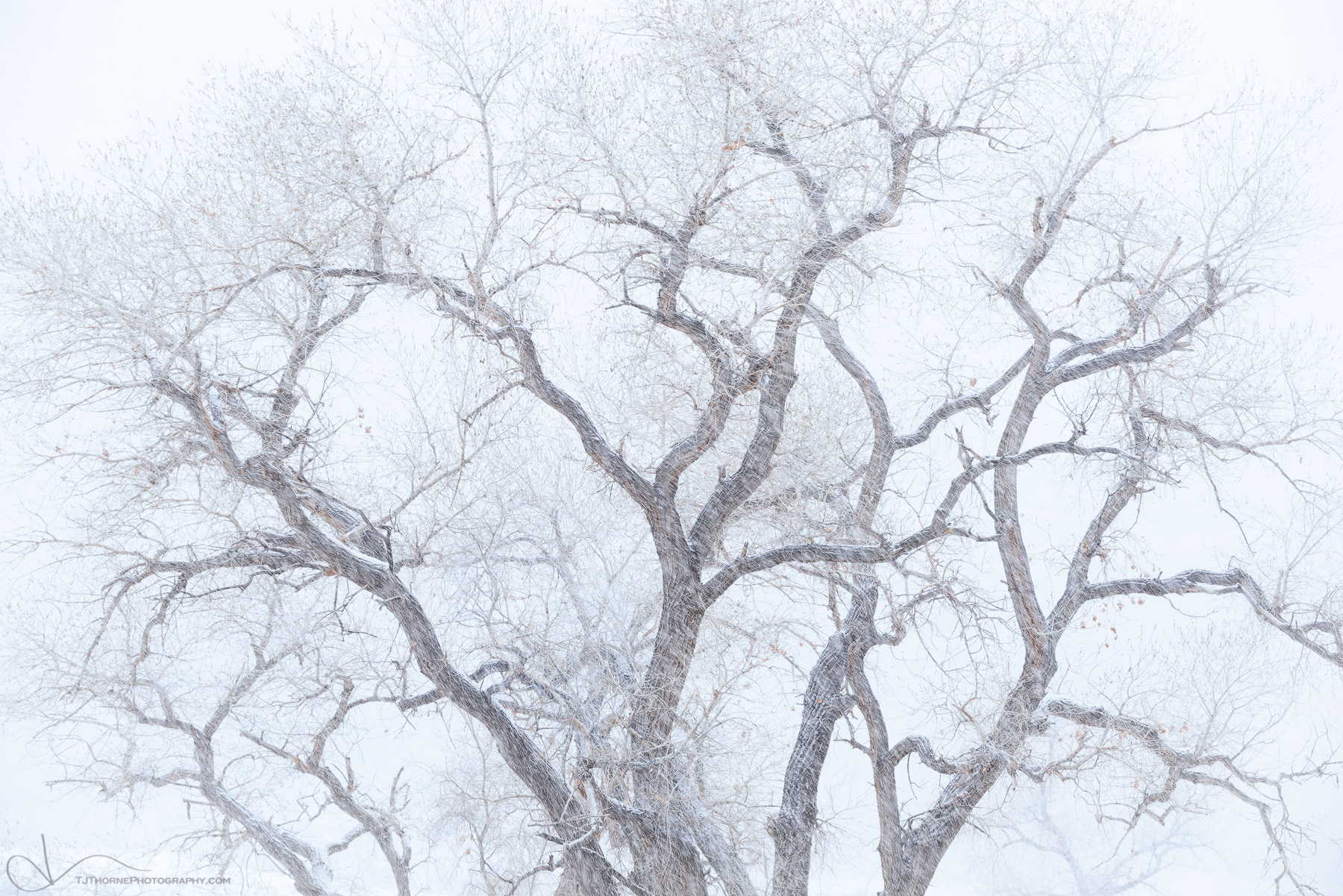 cottonwood, tree, utah, winter, snow, photo