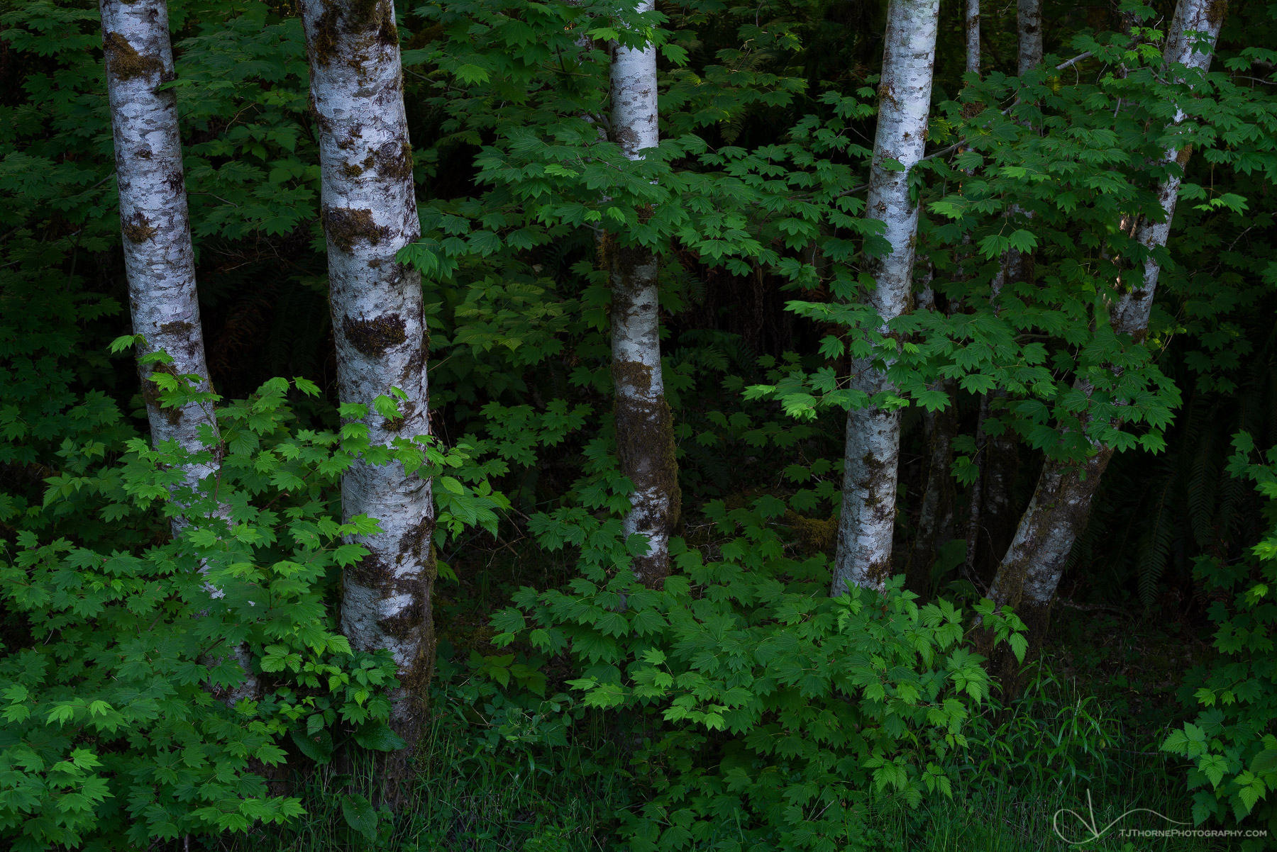washington, olympic national park, trees, alder, photo