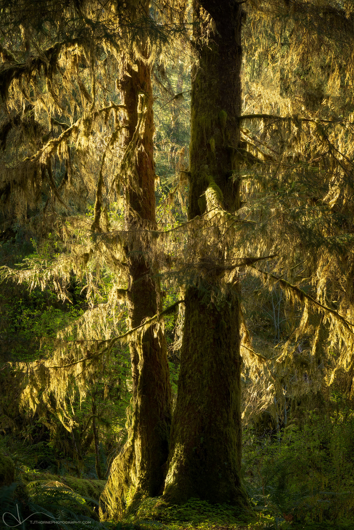 FINE ART LIMITED EDITION OF 100 Moss draped pines catch the afternoon light and illuminate the surrounding forest in Olympic...