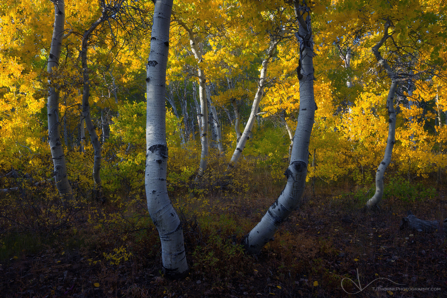 aspen, trees, oregon, steens, autumn, photo