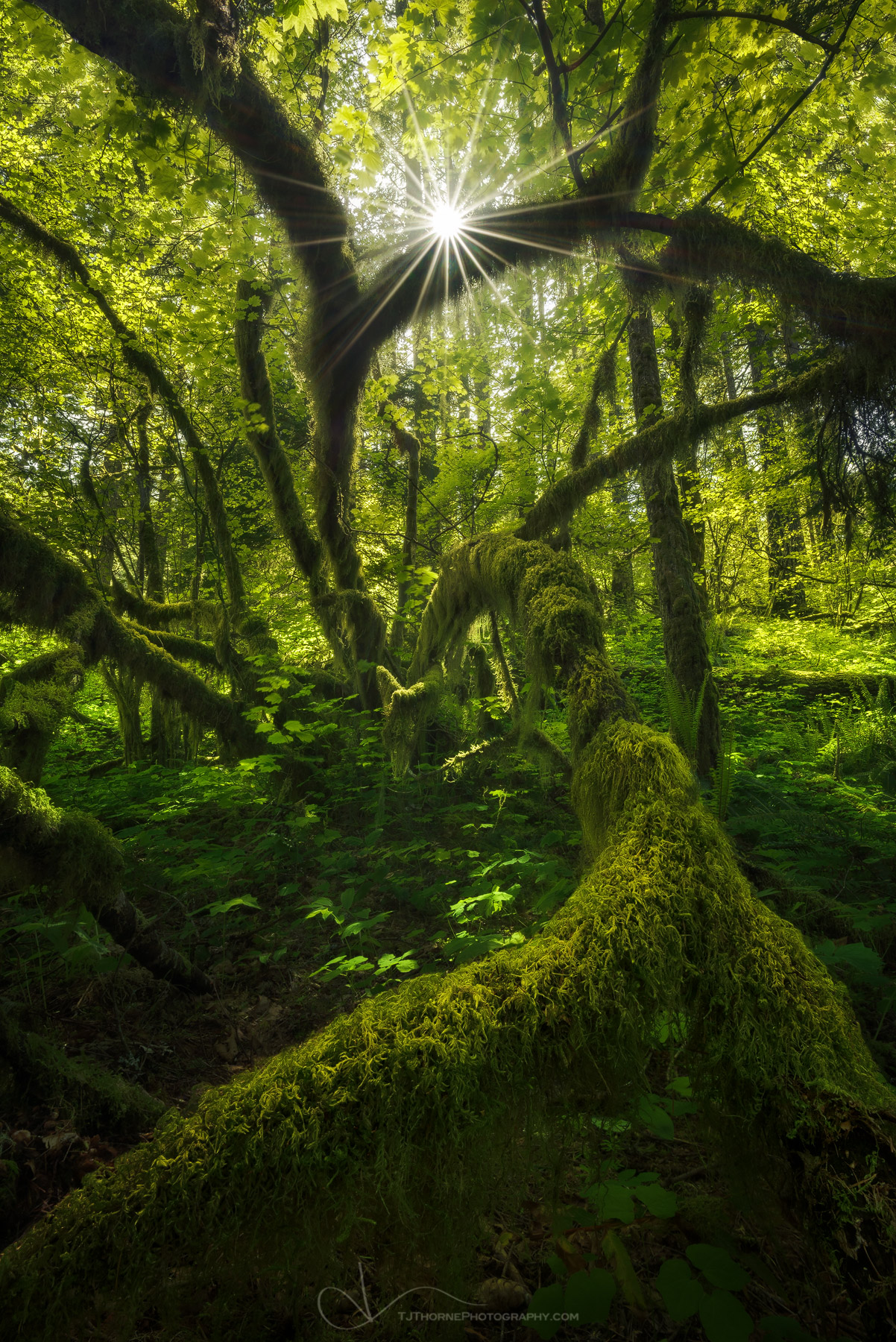 forest, tree, moss, spring, sunlight, oregon, columbia river gorge, photo