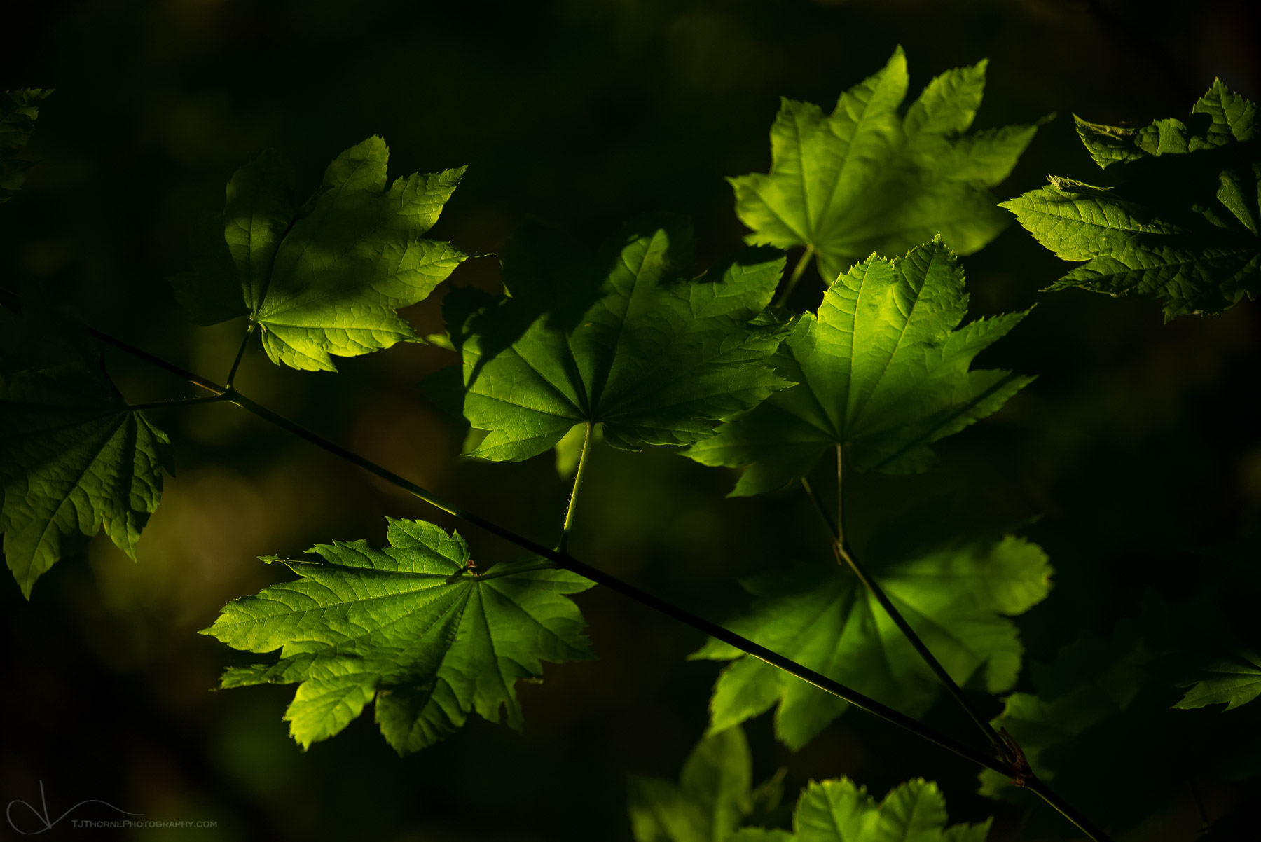 FINE ART LIMITED EDITION OF 100 The last touch of evening light gently gracing maple leaves in Olympic National Park, Washington...