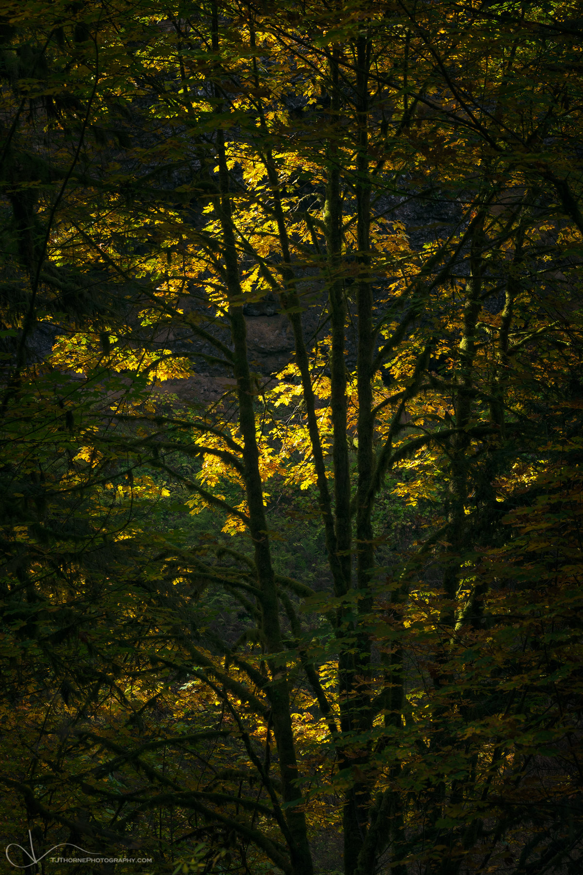 autumn, leaves, trees, forest, oregon, photo
