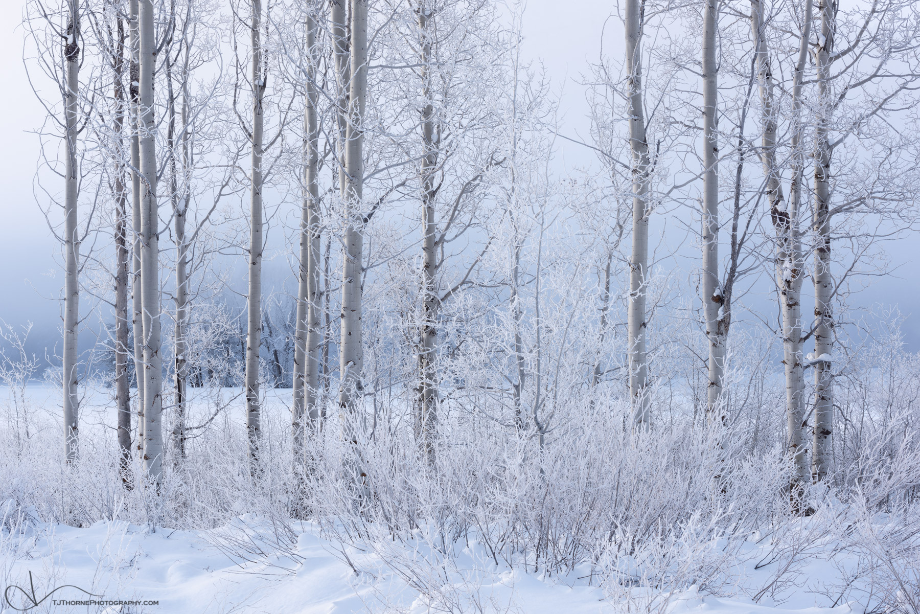 frost, aspen, trees, winter, grand teton national park, wyoming, snow, photo