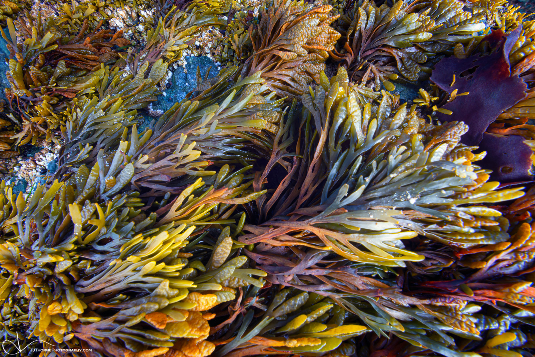 rockweed, oregon, coastal, plant, seaweed, swirl, photo