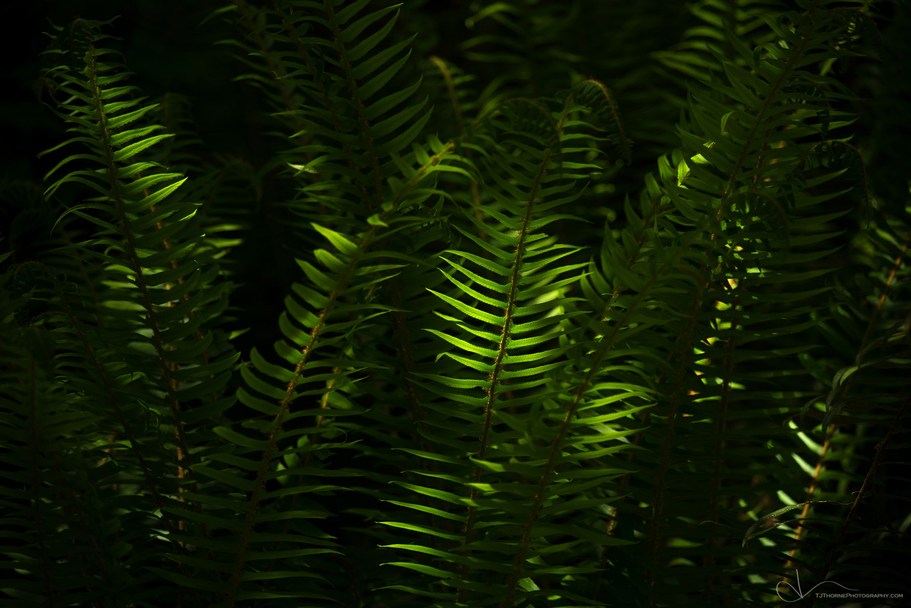ferns, olympic national park, washington, photo