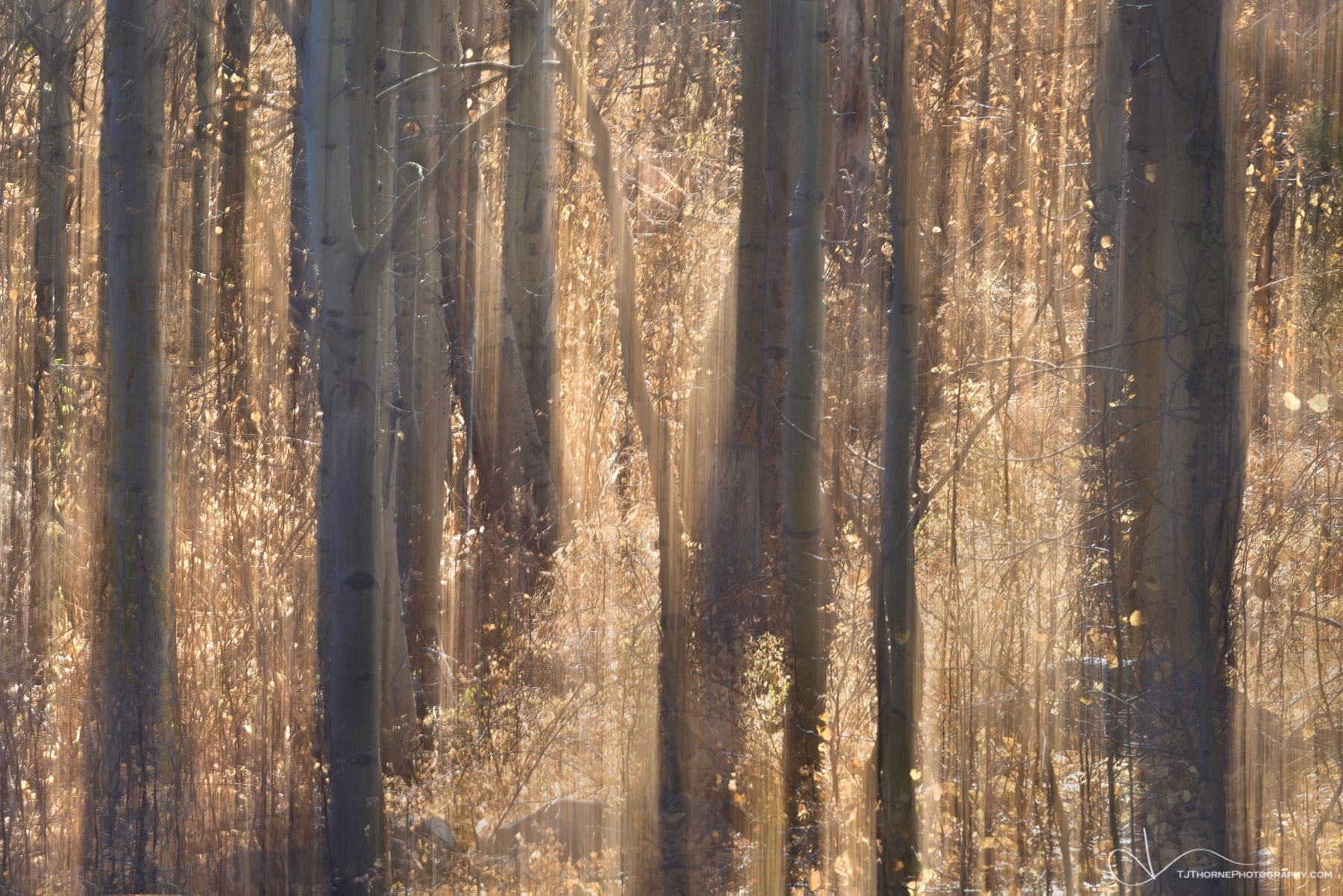 tree, aspen, abstract, forest, sun, aspendell, california, photo