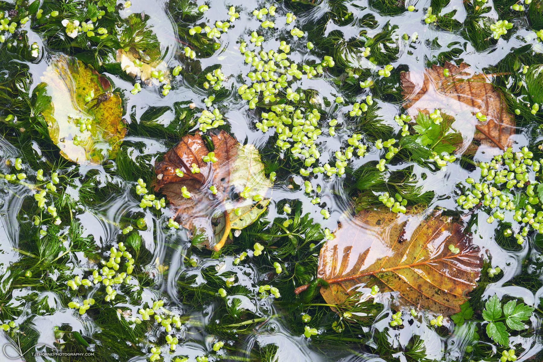 2020, horizontal, green, yellow, white, plants, flora, pond, photo