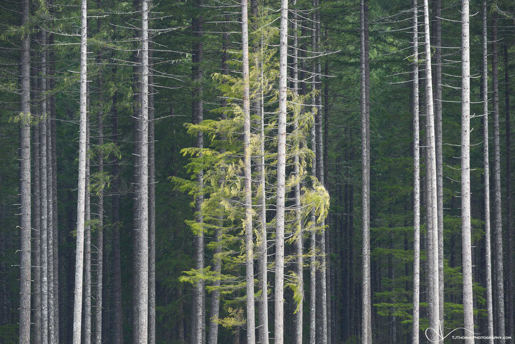 tree, symmetry, forest, gifford pinchot, washington, photo