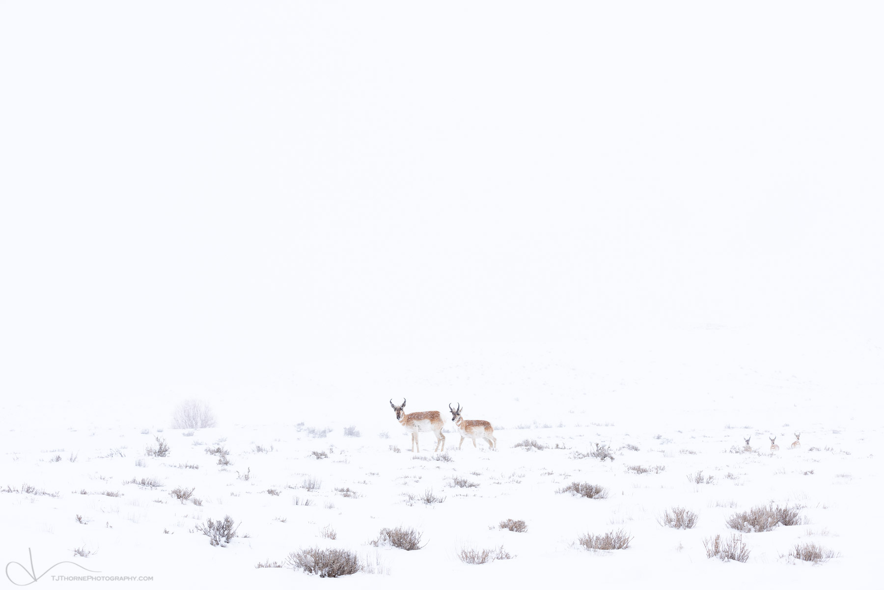 pronghorn, utah, winter, snow, storm, photo