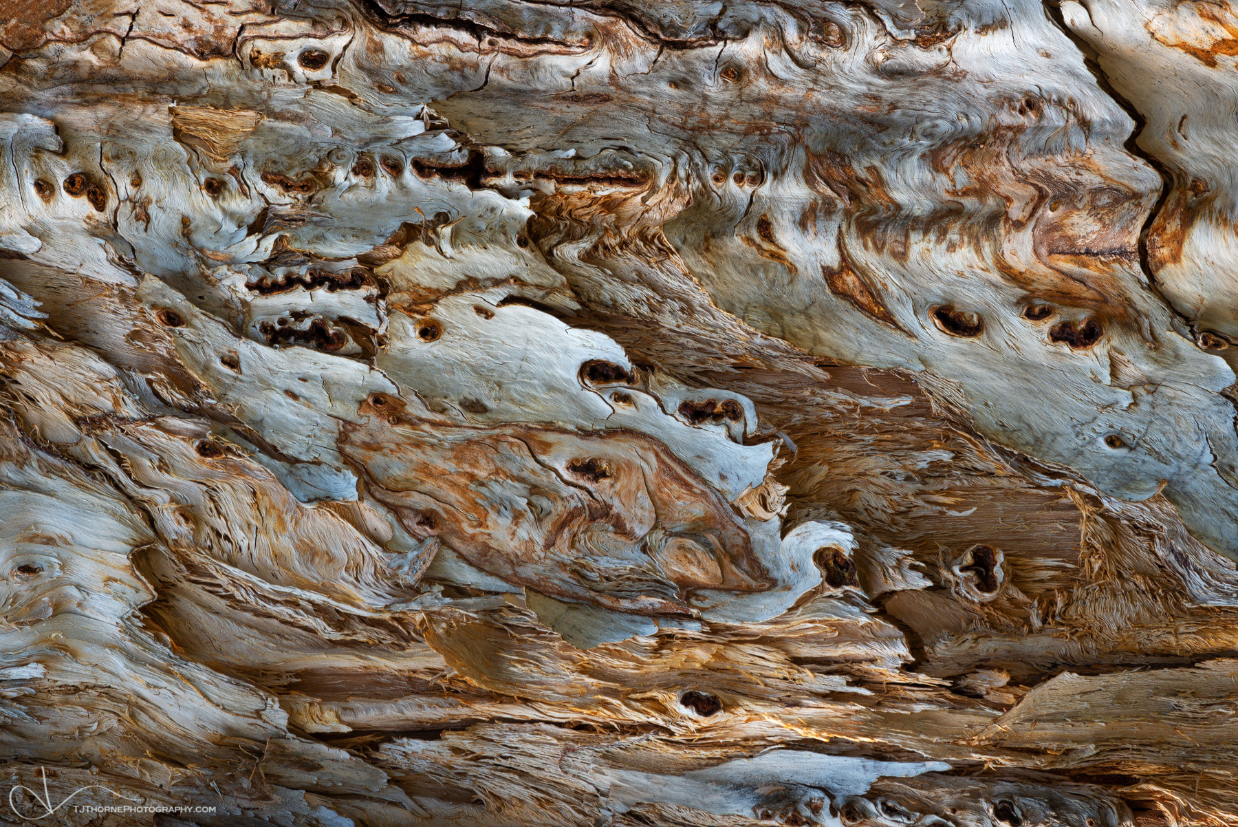 FINE ART LIMITED EDITION OF 100 Soft light illuminates the textures of a white bark pine in Crater Lake National Park, Oregon...
